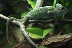 Veiled chameleon (Chamaeleo calyptratus). Veiled chameleon (Chamaeleo calyptratus), also known as the Yemen chameleon. Wildlife animal Stock Images