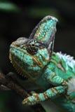 Veiled chameleon (Chamaeleo calyptratus). Royalty Free Stock Image