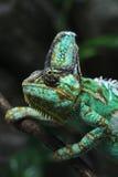 Veiled chameleon (Chamaeleo calyptratus). Stock Image