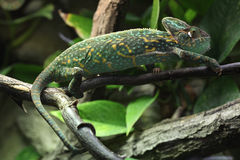 Veiled chameleon (Chamaeleo calyptratus). Veiled chameleon (Chamaeleo calyptratus), also known as the Yemen chameleon. Wildlife animal Stock Image