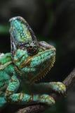 Veiled chameleon (Chamaeleo calyptratus). Royalty Free Stock Images