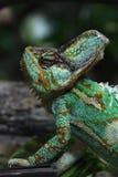 Veiled chameleon (Chamaeleo calyptratus). Stock Photos