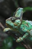 Veiled chameleon (Chamaeleo calyptratus). Stock Images