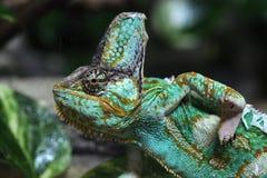 Veiled chameleon (Chamaeleo calyptratus). Royalty Free Stock Photo