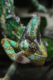 Veiled chameleon (Chamaeleo calyptratus). Veiled chameleon (Chamaeleo calyptratus), also known as the Yemen chameleon. Wildlife animal Stock Photography