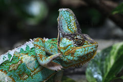 Veiled chameleon (Chamaeleo calyptratus). Veiled chameleon (Chamaeleo calyptratus), also known as the Yemen chameleon. Wildlife animal Royalty Free Stock Images