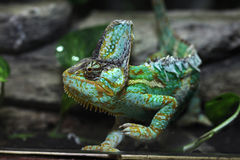 Veiled chameleon (Chamaeleo calyptratus). Stock Photo