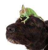 Veiled chameleon chamaeleo calyptratus with black dog. Veiled chameleon chamaeleo calyptratus sitting on head of black dog on white background Royalty Free Stock Photography