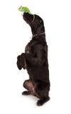 Veiled chameleon chamaeleo calyptratus with black dog. Veiled chameleon chamaeleo calyptratus with black dog on white background Royalty Free Stock Photo