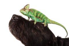 Veiled chameleon chamaeleo calyptratus with black dog. Veiled chameleon chamaeleo calyptratus with black dog on white background Stock Photography