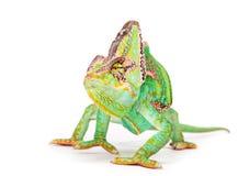 Veiled chameleon chamaeleo calyptratus close-up. Veiled chameleon chamaeleo calyptratus close-up photo Royalty Free Stock Images