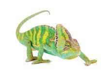 Veiled chameleon chamaeleo calyptratus close-up. Veiled chameleon chamaeleo calyptratus close-up photo Stock Photography