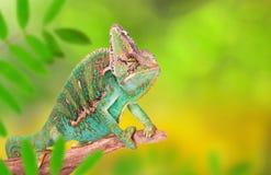 Veiled chameleon chamaeleo calyptratus close-up. Veiled chameleon chamaeleo calyptratus close-up photo Stock Images