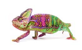 Veiled chameleon chamaeleo calyptratus close-up. Veiled chameleon chamaeleo calyptratus close-up photo Royalty Free Stock Image