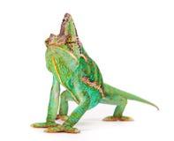 Veiled chameleon chamaeleo calyptratus close-up. Veiled chameleon chamaeleo calyptratus close-up photo Stock Image