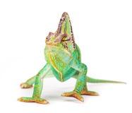 Veiled chameleon chamaeleo calyptratus close-up. Veiled chameleon chamaeleo calyptratus close-up photo Royalty Free Stock Photos