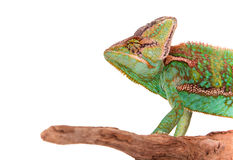 Veiled chameleon chamaeleo calyptratus close-up. Veiled chameleon chamaeleo calyptratus close-up photo Stock Photos