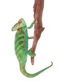 Veiled chameleon chamaeleo calyptratus close-up. Veiled chameleon chamaeleo calyptratus close-up photo Stock Photo