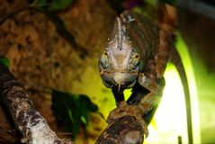 Veiled chameleon in the terrarium watches you with one eye stock photography
