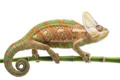 Veiled Chameleon. (Chamaeleo calyptratus) isolated on white background Royalty Free Stock Photos