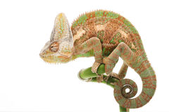 Veiled Chameleon. (Chamaeleo calyptratus) isolated on white background Royalty Free Stock Image
