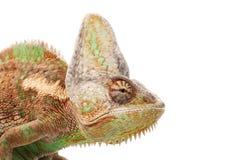 Veiled Chameleon. (Chamaeleo calyptratus) isolated on white background Royalty Free Stock Photo