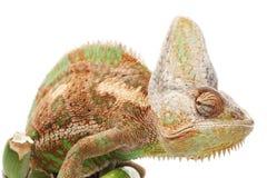 Veiled Chameleon. (Chamaeleo calyptratus) isolated on white background Stock Photos
