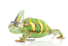 Veiled Chameleon Stock Image