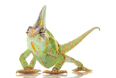 Veiled Chameleon. (Chamaeleo calyptratus) isolated on white background Stock Image