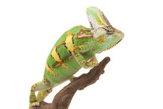 Veiled Chameleon. (Chamaeleo calyptratus) isolated on white background Royalty Free Stock Images
