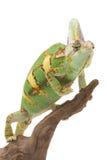 Veiled Chameleon. (Chamaeleo calyptratus) isolated on white background Stock Photo