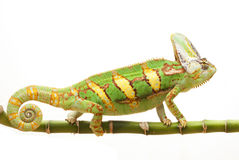 Veiled Chameleon. (Chamaeleo calyptratus) isolated on white background Royalty Free Stock Photography