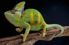 Veiled chameleon / Chamaeleo calyptratus Royalty Free Stock Image