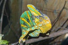 Veiled chameleon (Chamaeleo calyptratus) Royalty Free Stock Photography