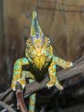 Veiled chameleon (Chamaeleo calyptratus) Stock Photography