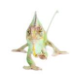 The veiled chameleon, Chamaeleo calyptratus, male Royalty Free Stock Image