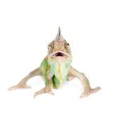 The veiled chameleon, Chamaeleo calyptratus, male Royalty Free Stock Images