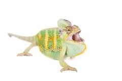 The veiled chameleon, Chamaeleo calyptratus, male. The veiled chameleon, Chamaeleo calyptratus, female isolated on white background Stock Images