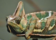 Veiled Chameleon Chamaeleo calyptratus. Native to the Arabian Peninsula in Yemen and Saudi Arabia. Other common names include cone-head chameleon and Yemen Stock Photography