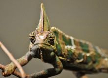 Veiled Chameleon Chamaeleo calyptratus. Native to the Arabian Peninsula in Yemen and Saudi Arabia. Other common names include cone-head chameleon and Yemen Stock Image