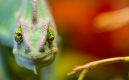 Veiled chameleon Chamaeleo calyptratus resting on a branch in its habitat Royalty Free Stock Images
