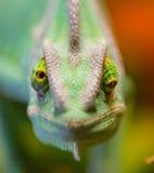 Veiled chameleon Chamaeleo calyptratus resting on a branch in its habitat. Macro photo Stock Image