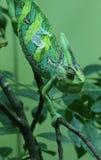 Veiled Chameleon - Chamaeleo calyptratus Stock Photography