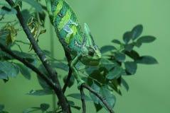 Veiled Chameleon - Chamaeleo calyptratus Stock Images