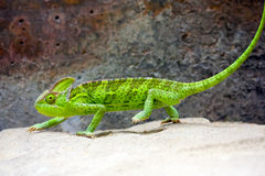 Veiled Chameleon (Chamaeleo calyptratus) royalty free stock photography