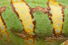 Veiled Chameleon. Close up detail of the skin of a Veiled Chameleon Stock Image