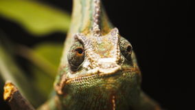 Veiled chameleon close up stock video footage