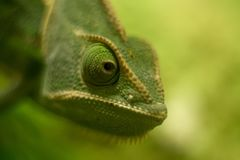 Veiled chameleon close up, shallow dof. stock photo
