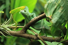 Veiled chameleon stock photography