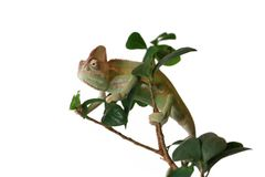 Veiled Chameleon in a Ficus Bonsai Tree royalty free stock photo